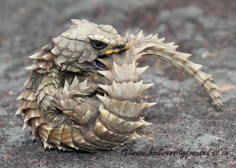 Armadillo-Lizard-Ouroborus-cataphractuss.jpg