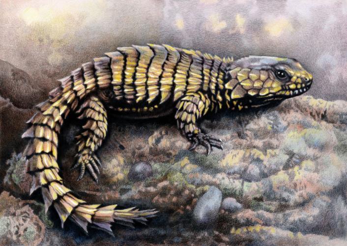 armadillo_girdled_lizard.thumb.jpg.53a33