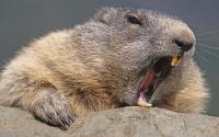 The beaver tribe