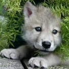 WolfTourqe
